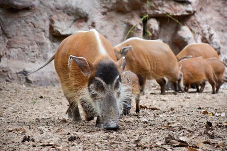 bush hog: El cerdo de r�o rojo tambi�n conocido como el cerdo del arbusto. Foto de archivo