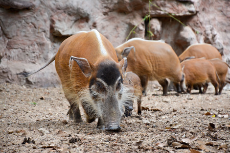 bush hog: The red river hog also known as the bush pig. Stock Photo