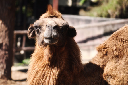 relatives: Bactrian camels have two humps rather than the single hump of their Arabian relatives.