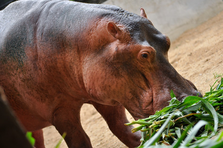 Hippopotamus do not eat while in the water and aren't known to graze on aquatic plants.
