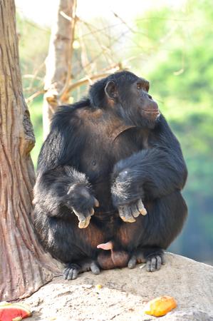 chimpances: Los chimpanc�s son animales inteligentes que son similares a los seres humanos y son fuertes. Foto de archivo