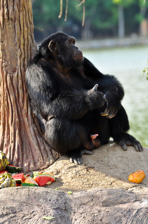 bonobo: Chimpanzees are intelligent animals that are similar to humans and are strong.