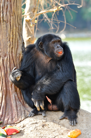 chimpances: Los chimpancés son animales inteligentes que son similares a los seres humanos y son fuertes. Foto de archivo