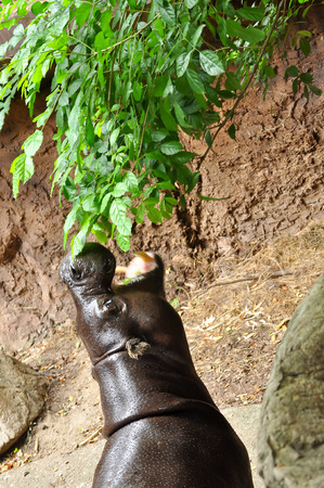 pigmy: Pygmy hippopotamus is eatting green leaves Stock Photo