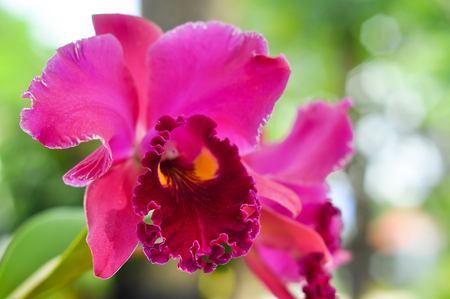 growers: Cattleya orchid is an orchid that is a favorite of orchid growers.