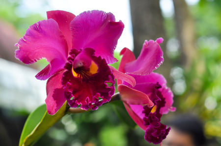 cattleya orchid: Cattleya orchid is an orchid that is a favorite of orchid growers.