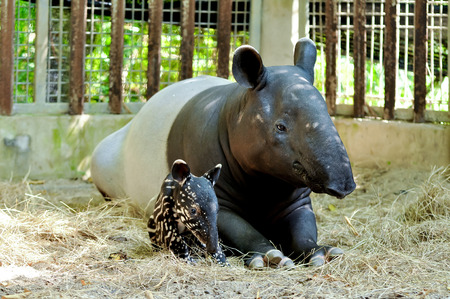 nifty: Mother and baby tapir on sand yard in the zoo. Stock Photo