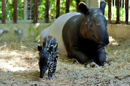 engaging: Mother and baby tapir on sand yard in the zoo. Stock Photo
