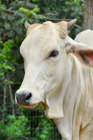 Beef cattle cross between American Brahman breed with native species.