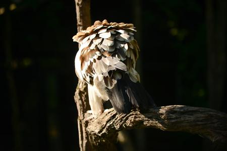 Beautiful feather of brown Himalayan griffon vulture.