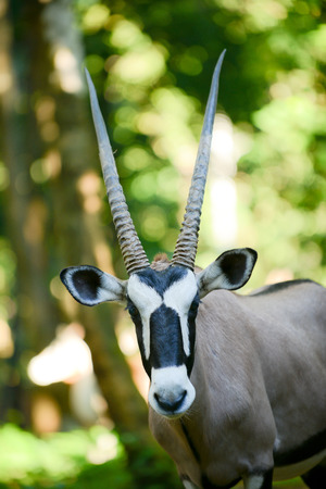 Gemsbok is native to the arid regions of Southern Africa.