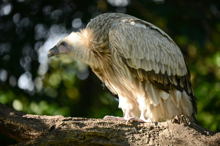 Himalayan griffon vulture standing on a branch looking for prey.