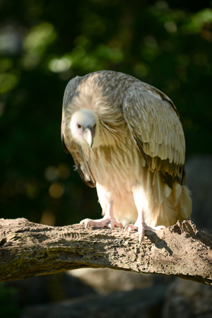 portly: Himalayan griffon vulture standing on a branch looking for prey.