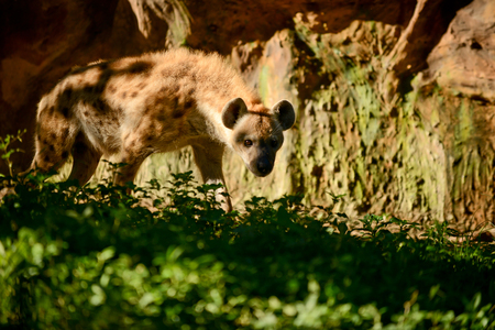 hienas: Hyena is exploring areas in its territory.