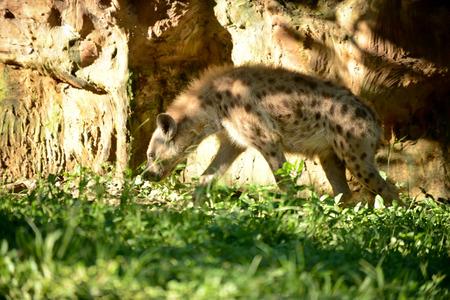 hienas: Hiena está explorando áreas en su territorio.