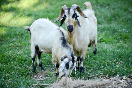 Two black and white goats are fed on the farm are joke.