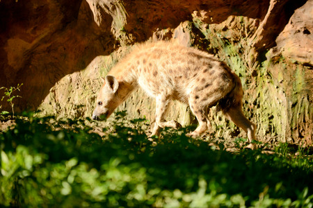 Hyena is exploring areas in its territory.