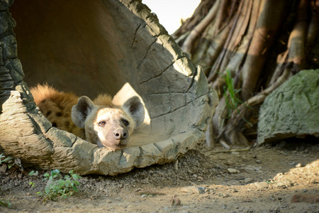 Hyena is distracted while its sleeping.