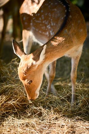 Sika deer or japanese deer were grazing hay.