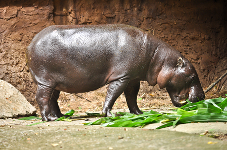 pigmy: Pygmy hippos are smaller cousins of the hippopotamus.