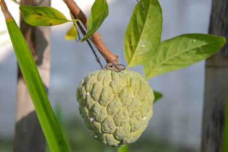 Custard apples are a decadent and deliciously sweet sub-tropical fruit.