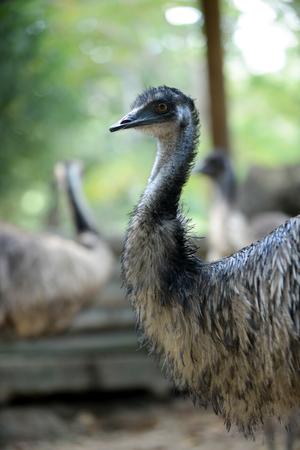 Wild Emus only exist in Australia 版權商用圖片