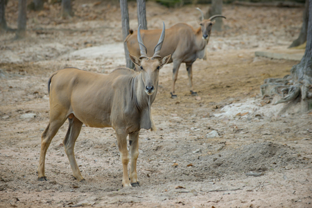 common eland was standing still on the forest clearing.
