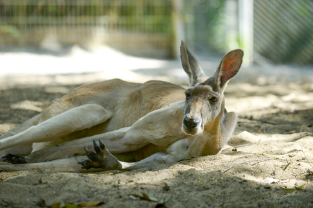 joey: male kangaroo is relaxing on the ground under the trees.