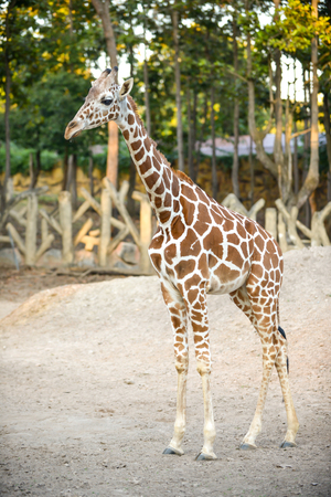 Standing young reticulated giraffe and looking around Stock Photo