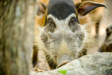 Red River Hog in the zoo. (face close up)