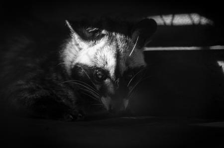 black & white photo of common palm civet Stock Photo
