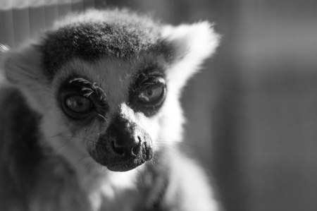 primates: Black and white of ring tailed lemur