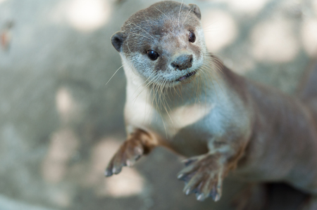 small clawed: The Otter is looking at something with suspicion.