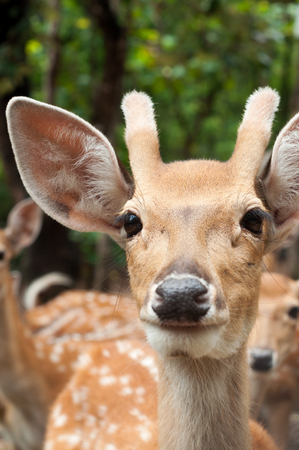 spotted fur: face of young male sika deer Stock Photo