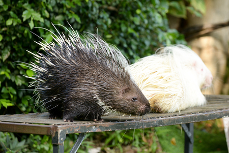 The porcupine is the prickliest of rodents Stock Photo
