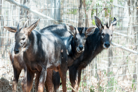 beautiful rare: Three serows in exibition at the zoo