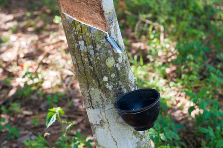 Latex from the rubber tree drops into the bowl at the rubber plantation.