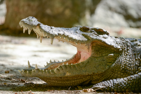 white nile: Crocodile is open mouth while resting.