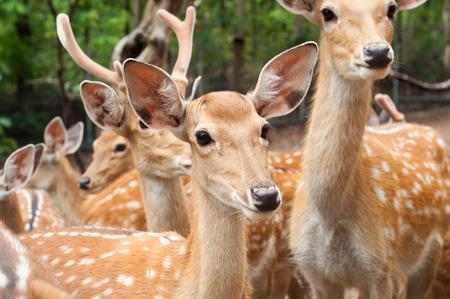 one of female sika deer in group