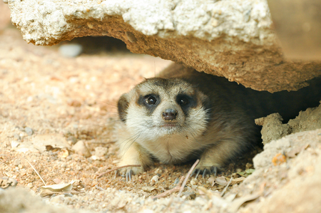 meerkat is a panic animal Stock Photo