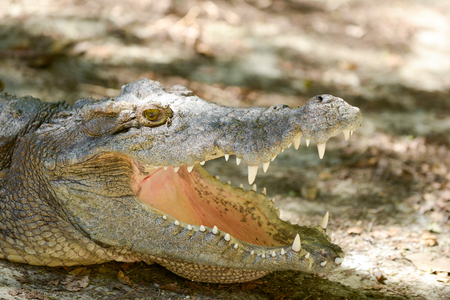 Crocodile is open mouth while resting.
