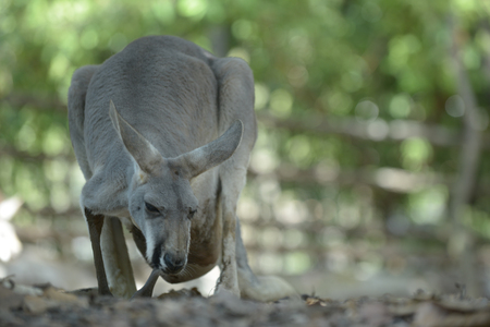 Kangaroo mother has a joey in the pouch.
