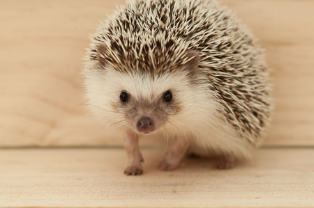 Hedgehogs various movements on wooden background Stock Photo