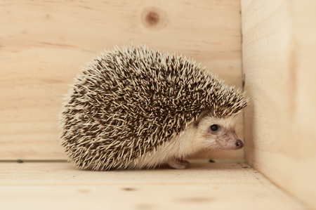bristles: Hedgehogs various movements on wooden background Stock Photo