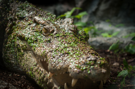 Fresh water crocodile lying on rock shelter on water lagoon Stock Photo
