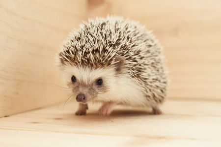 pygmy: Hedgehogs various movements on wooden background Stock Photo