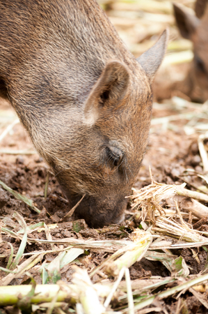 portrait of wild boar when it was looking for food on the land