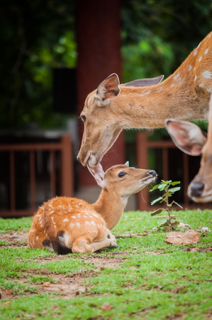 Female deer are taking care of and cleaning their baby with love.
