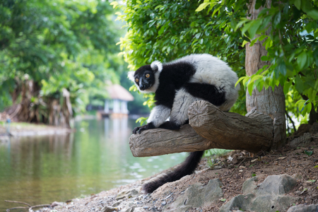 The black-and-white ruffed lemur is sit on log near river Stock Photo