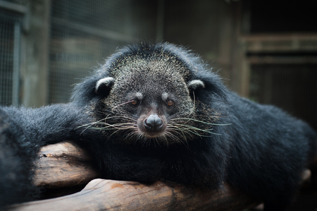Binturongs spend most of their time in the trees